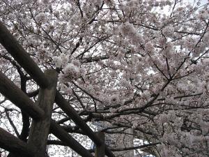 Sakura2010493